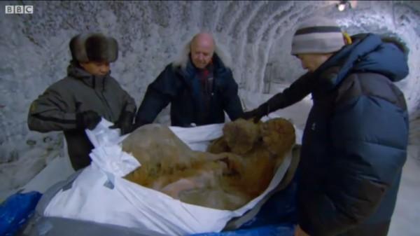 Mamute jovem encontrado congelado.