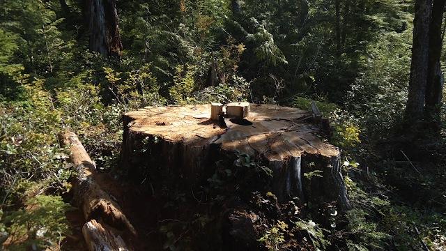 Havia uma árvore de 800 anos aqui.