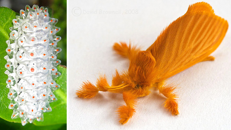 Jewel Caterpillar transformada em mariposa.