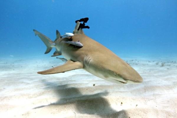 Ameaçador tubarão com lasers.