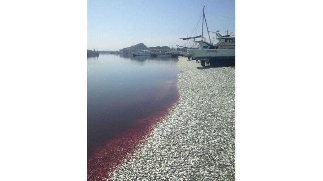 Porto no Japão com 200 toneladas de sardinhas mortas