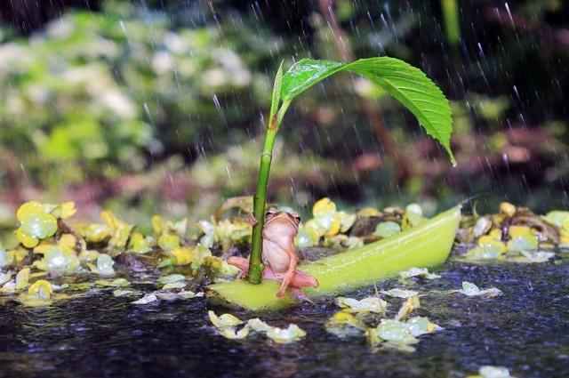 sapo-guarda-chuva-1