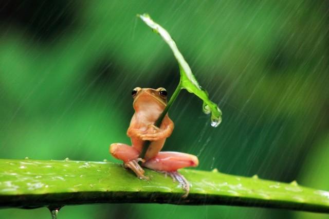 sapo-guarda-chuva