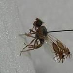 formigamosca