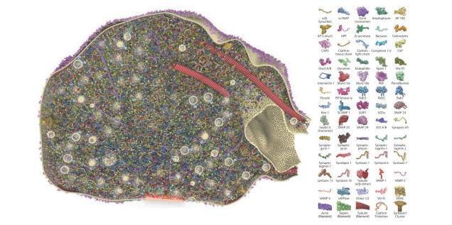 Esta é a real aparência das sinapses do seu cérebro