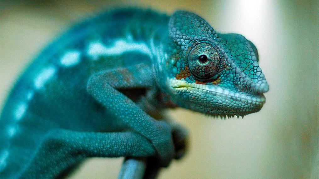 Cientistas enfim descobrem como camaleões mudam de cor