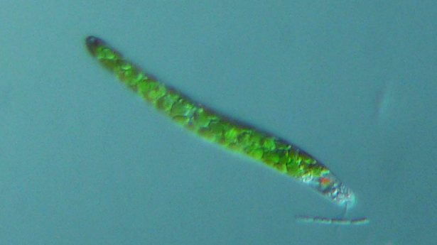Euglena mutabilis