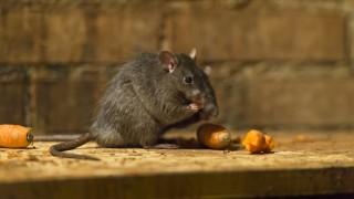 Ratos comendo cenoura
