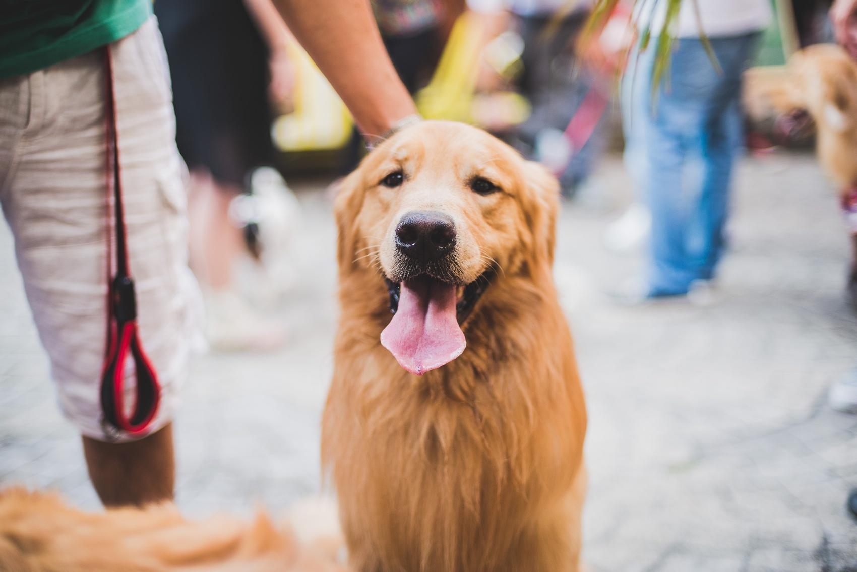 festa-dog-bob-golden-10