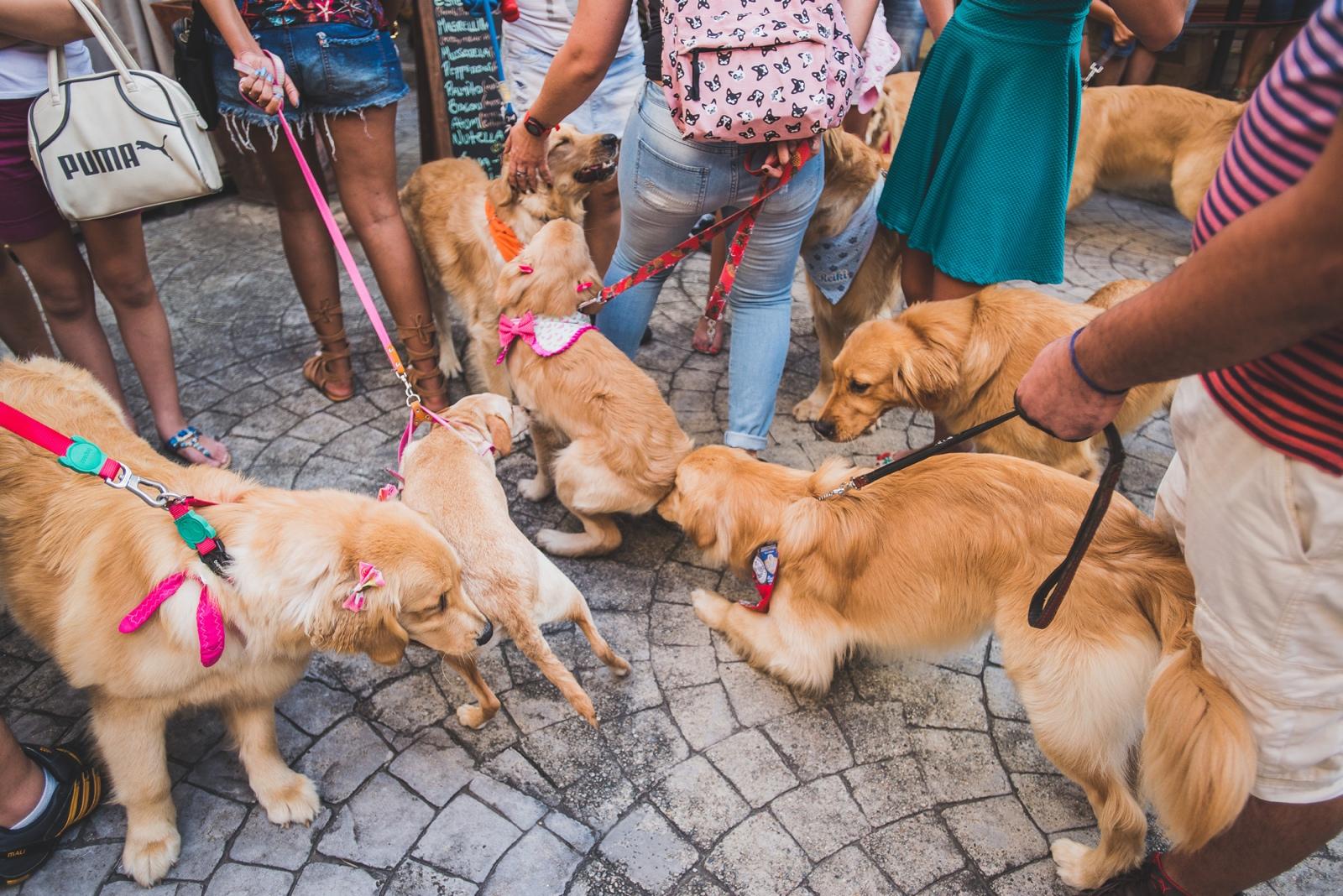 festa-dog-bob-golden-43