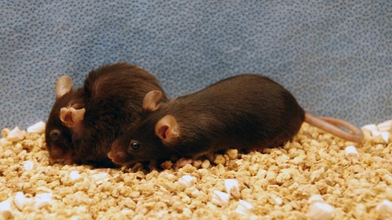 Terapia aumenta tempo de vida de ratos em 35%, e poderia ser usada em humanos