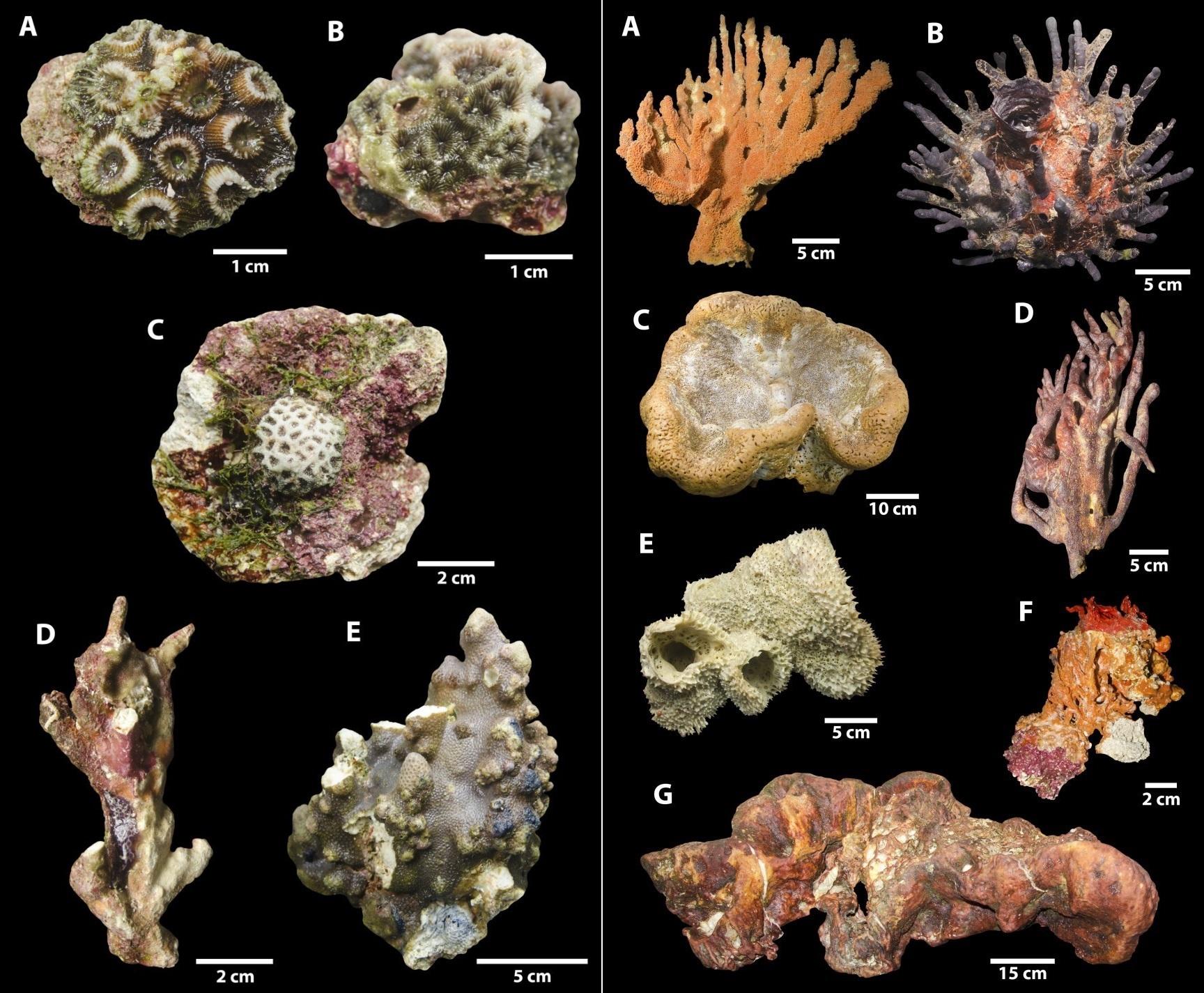 coral amazonas 1