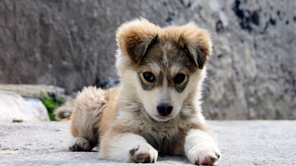 cao dog