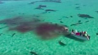 tubaroes-baleia-australia
