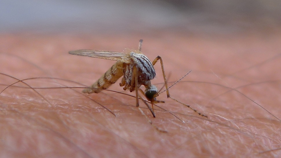 Veja como mosquitos usam seis agulhas nojentas para sugar o nosso sangue