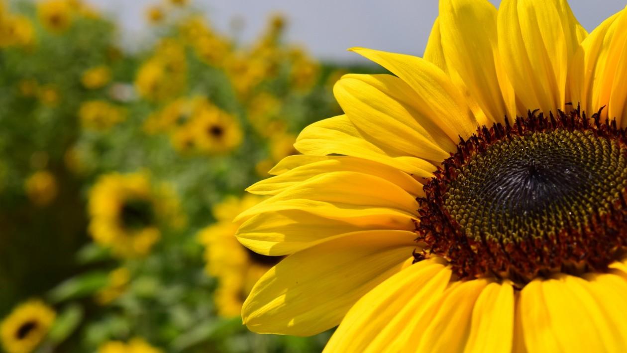 Por que o girassol acompanha o movimento do sol?