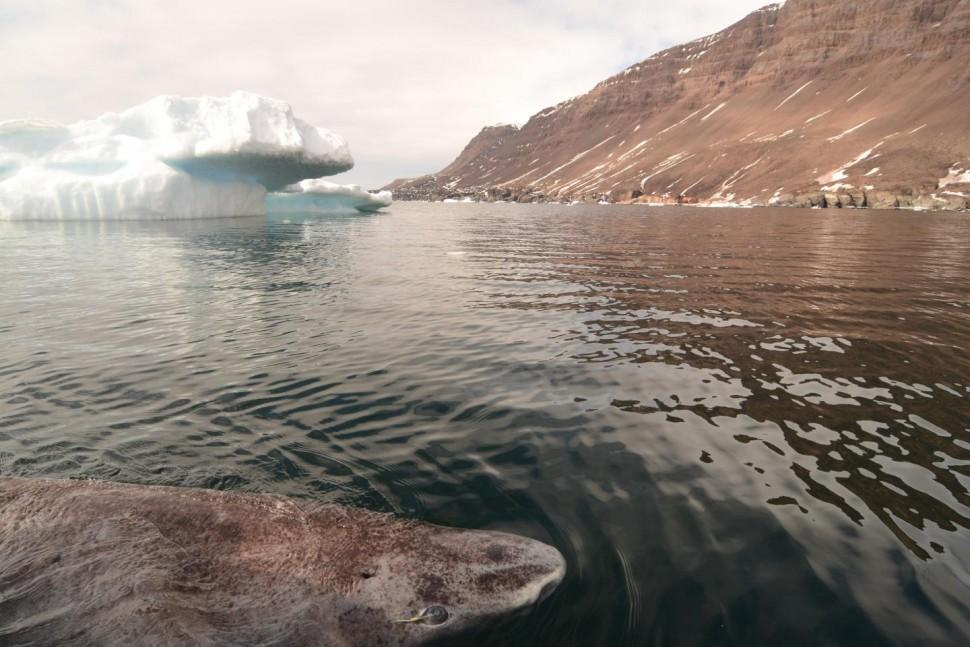 tubarão-da-groenlândia-1