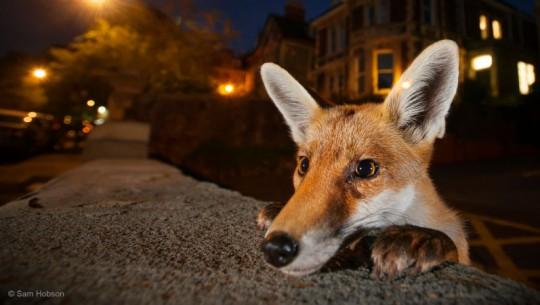 Nosy Neighbor, Sam Hobson (Reino Unido) - uma raposa vermelha urbana olha sobre uma parede em Bristol, no Reino Unido. A imagem levou um bom tempo para ser tirada, pois, segundo o fotógrafo, a raposa era muito rápida e ele teve de ficar esperando de seu carro o momento certo para o clique.