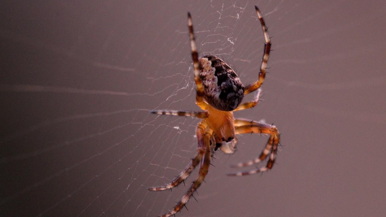 Aranhas sintonizam suas teias como cordas de violão para transmitir informações