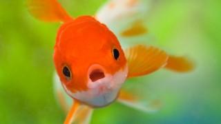 peixe boca