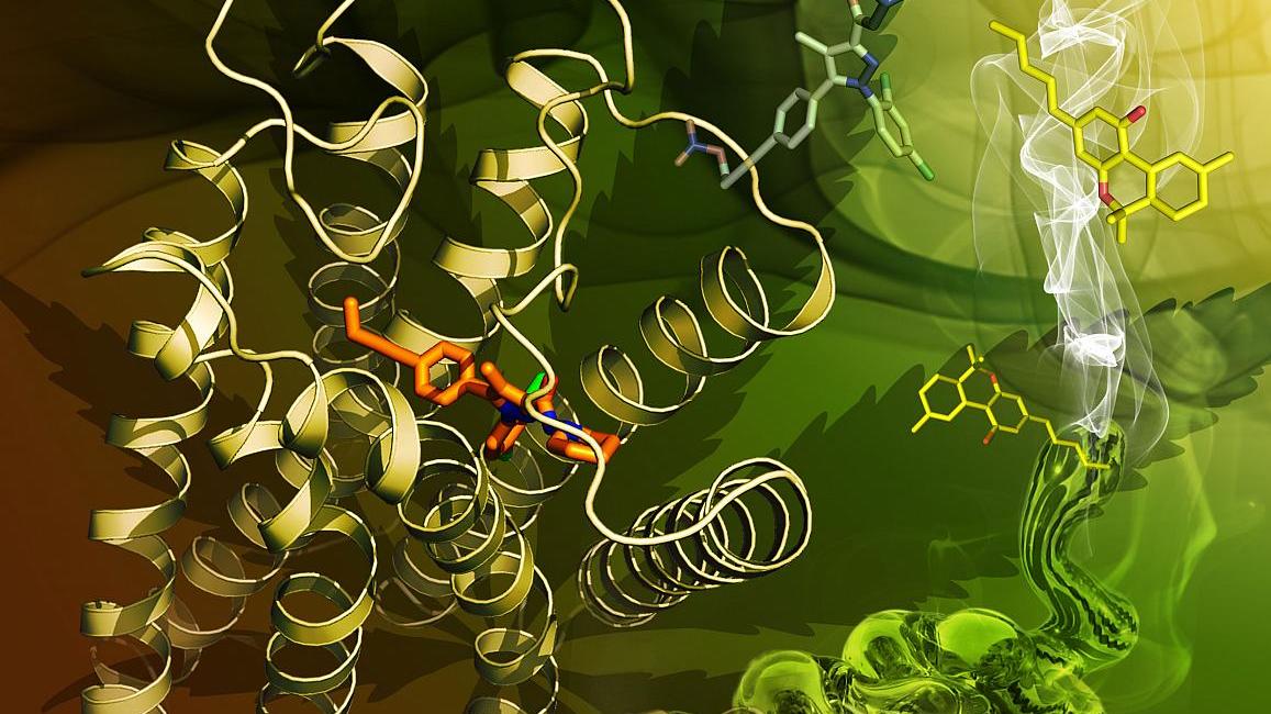 Cientistas descobriram como um receptor do cérebro lida com a maconha -