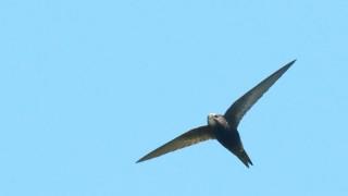 andorinhao-preto