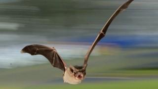morcego-brasileiro