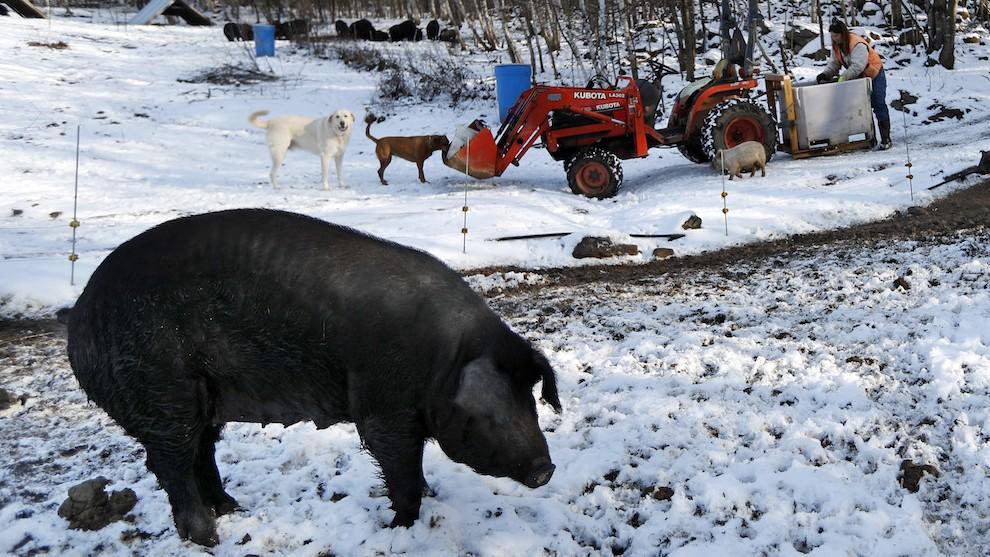 Rare Pigs