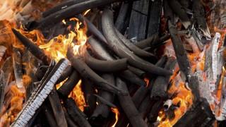 Cameroon China Ivory Trade