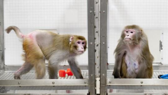 macaco-fome