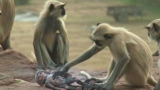 macaco-robo