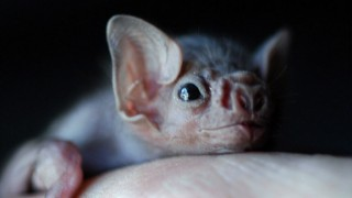 morcego-vampiro