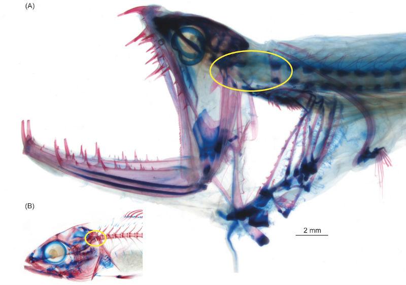 barbeled-dragonfish