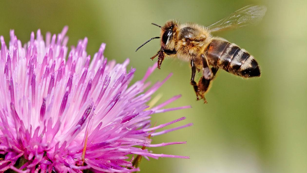 Já ameaçadas, as abelhas agora têm outro inimigo com que se preocupar: fungicidas