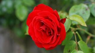 rosa-eletronica