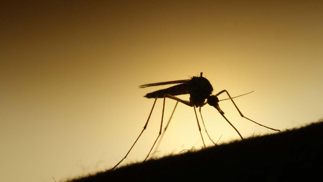 Cientistas descobrem que mosquitos voam de forma única