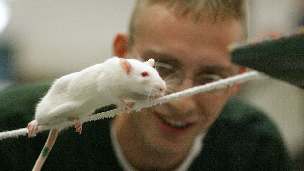 microdosagem-ratos-maconha