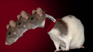 rato-espinha