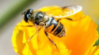 abelha-imagem
