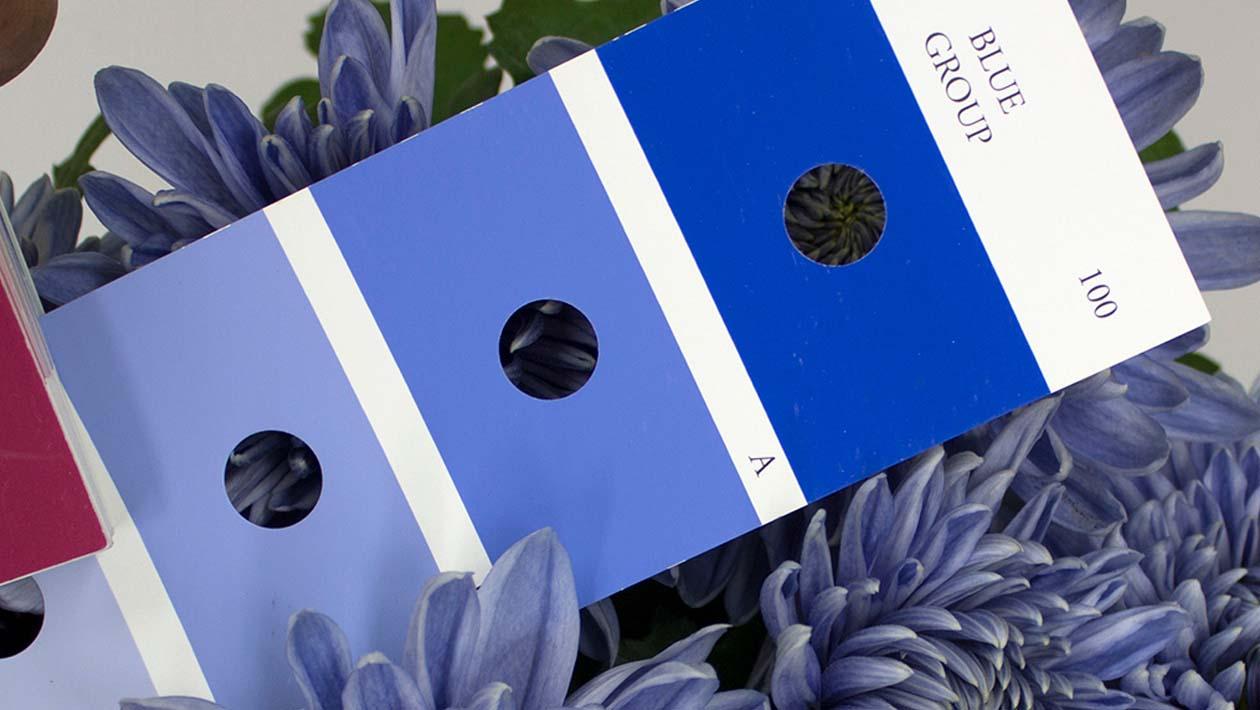 crisantemo-azul-2