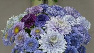 crisantemo-azul