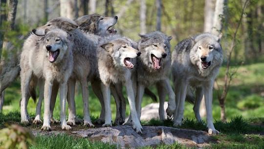 lobos-capa
