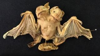 morcego-duas-cabecas
