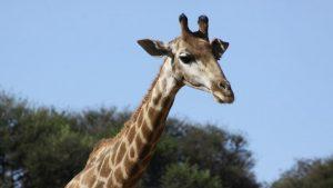 Cientistas especulam novo motivo pelo qual a girafa pode ter desenvolvido seu pescoço longo