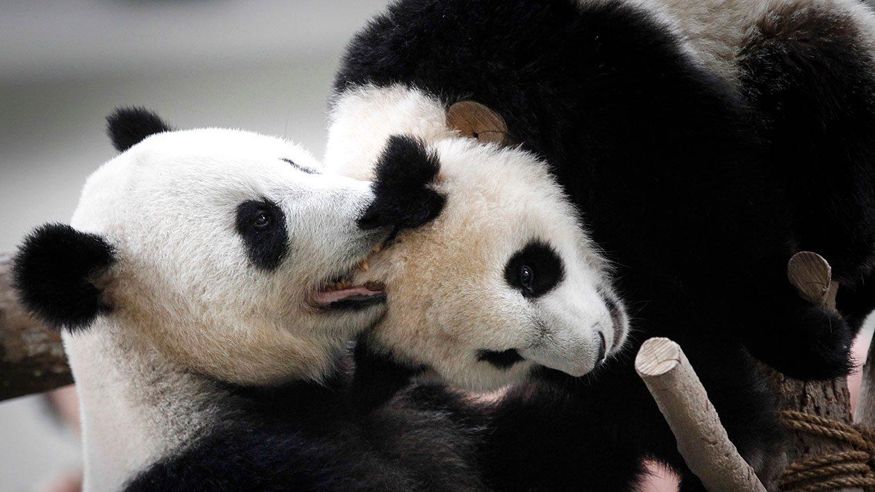 Apesar de melhorias, é provável que os pandas sigam em extinção