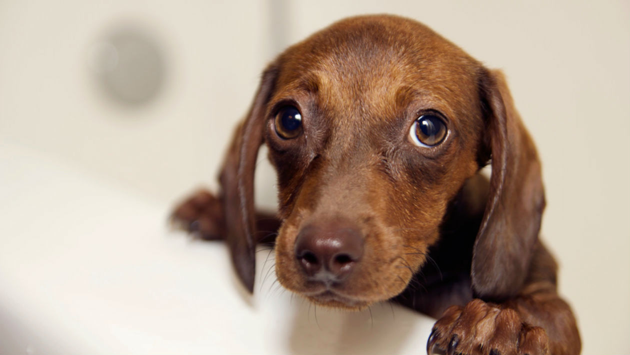 Cães fazem expressões faciais, mas só quando têm plateia