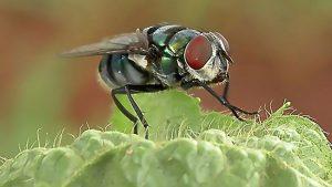 Moscas transmitem mais doenças do que imaginávamos