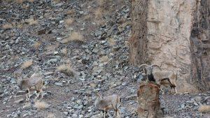Tente achar o leopardo-das-neves camuflado nesta imagem