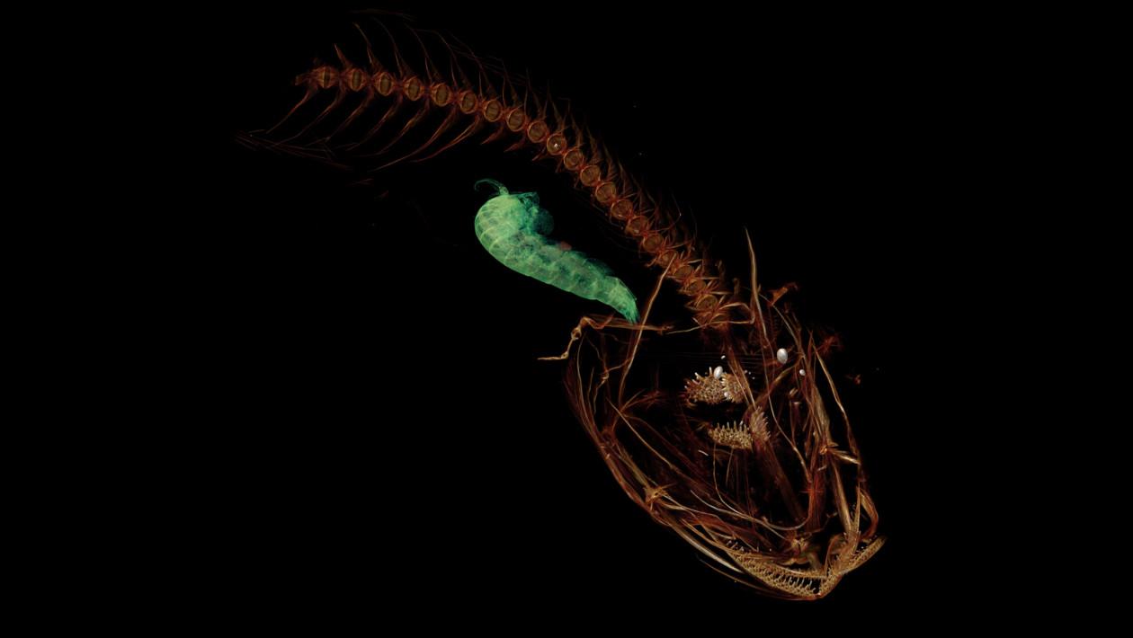Este peixe vive no ponto mais profundo do mar e acaba de ganhar um nome oficial