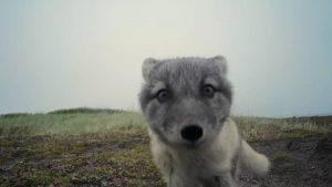 Vejas adoráveis raposinhas destruírem uma câmera